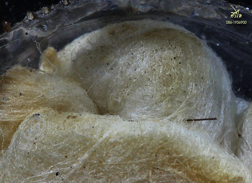 เต่าสำลีครูบาชัยวงศ์ 2.2 g.jpg