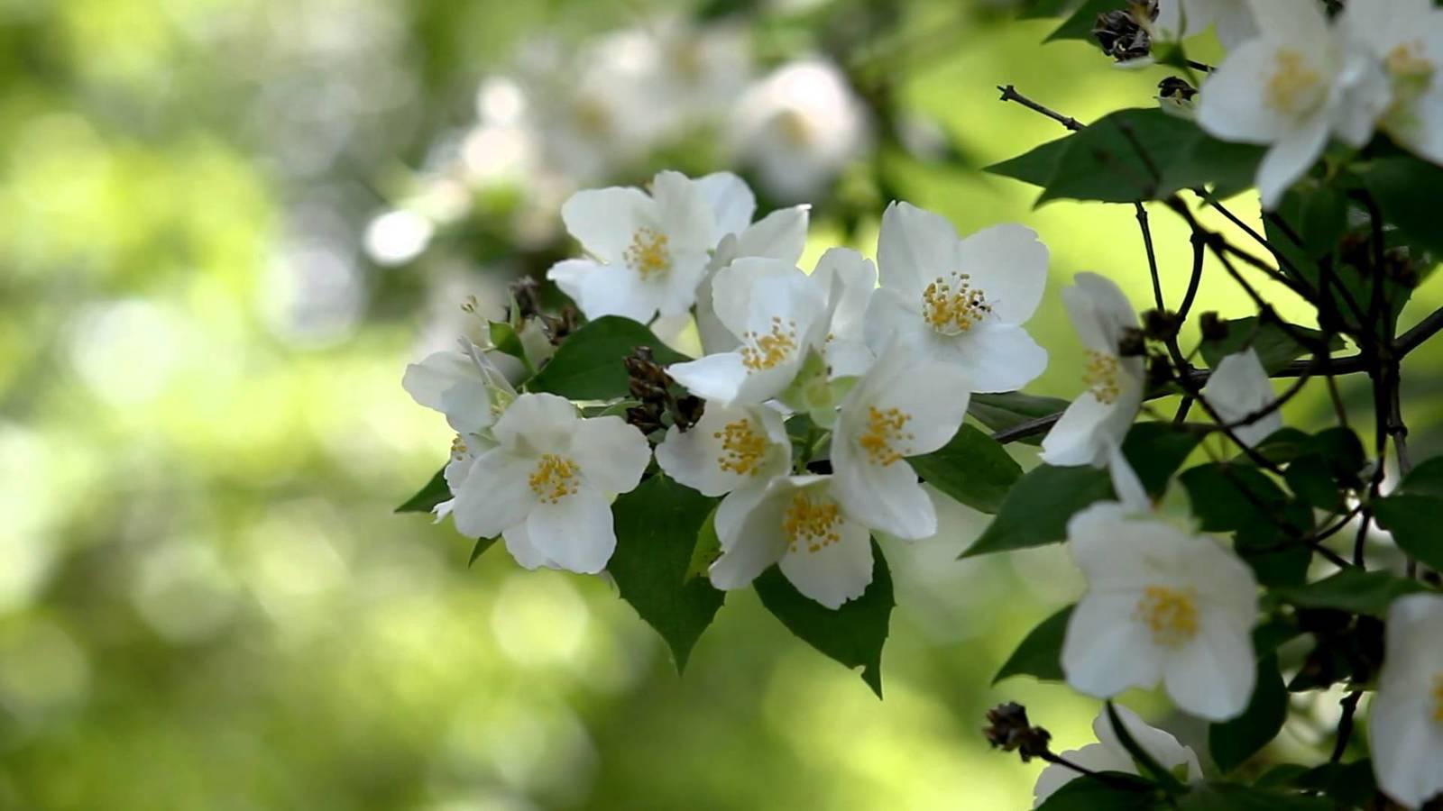 jasmine-flower-wallpaper10.jpg