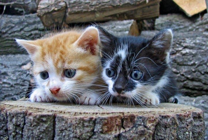 kitten-or-adult-cat.jpg