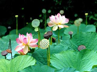 lotus10%5B1%5D.jpg