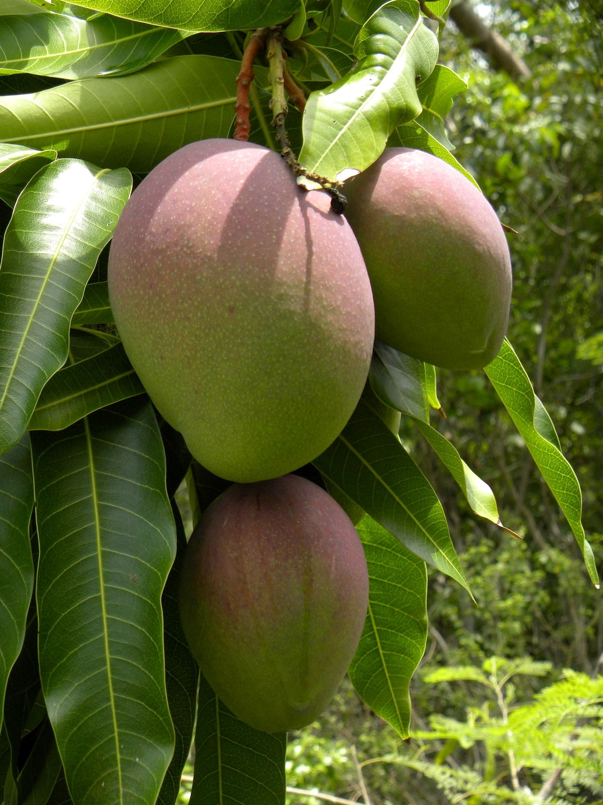 mangifera-indica-fruits.jpg