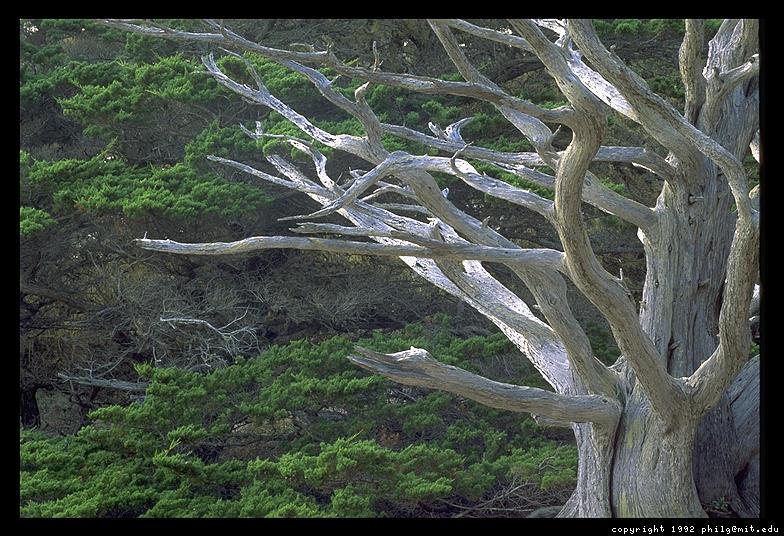 point-lobos-tree-25.3.jpg