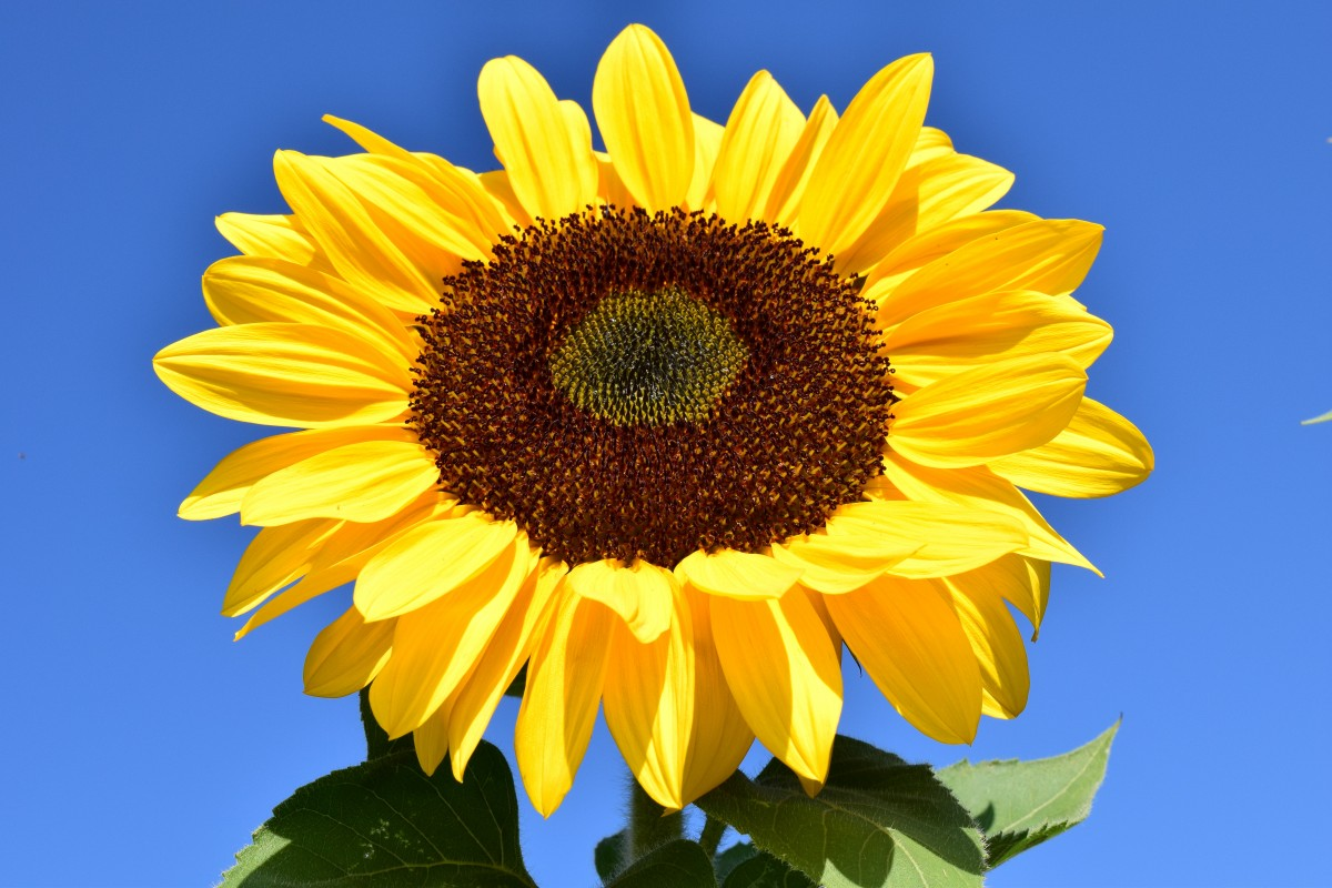 sun_flower_yellow_summer_blossom_.jpg