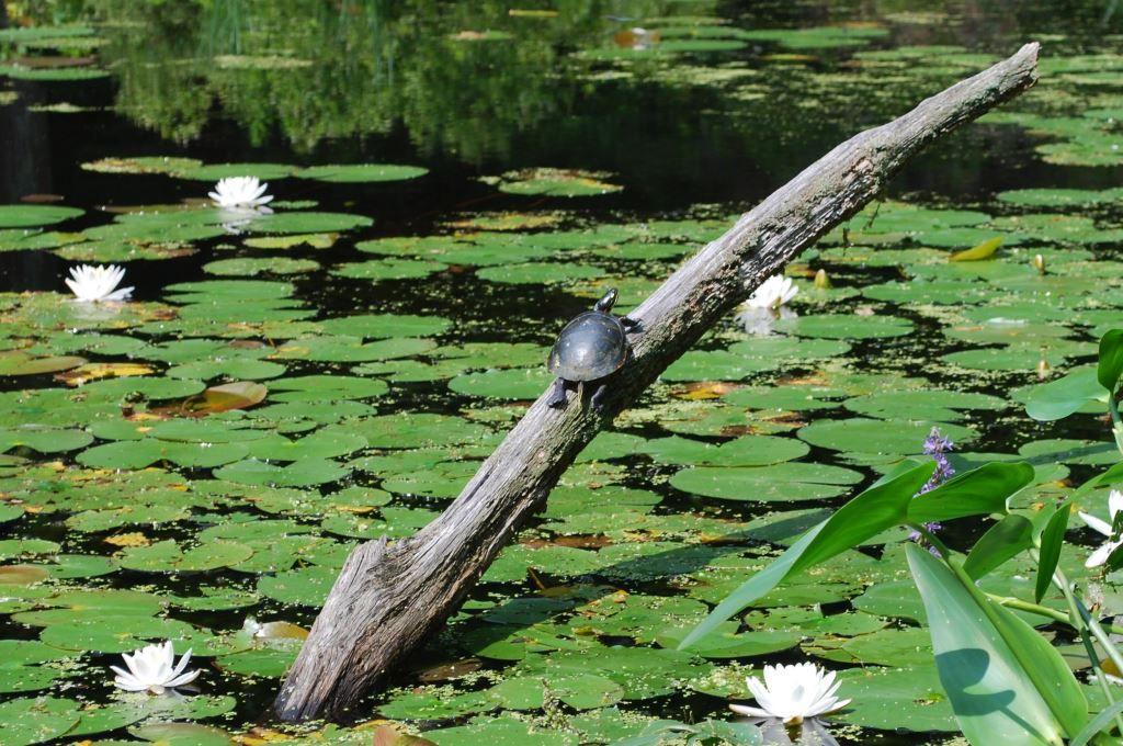 Turtle-in-Lily-Pond-c-New-England-Wild-Flower-Society.jpg